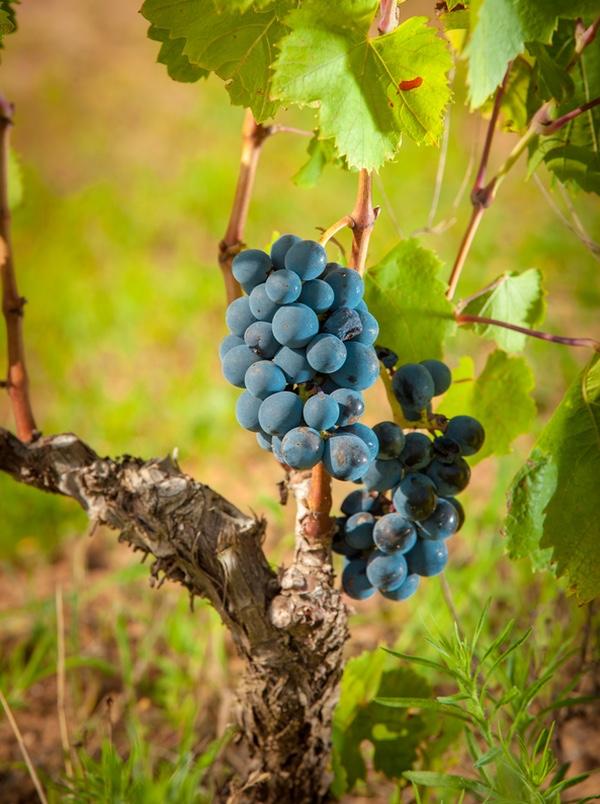 Röda druvor på Sardinien, Italien.
